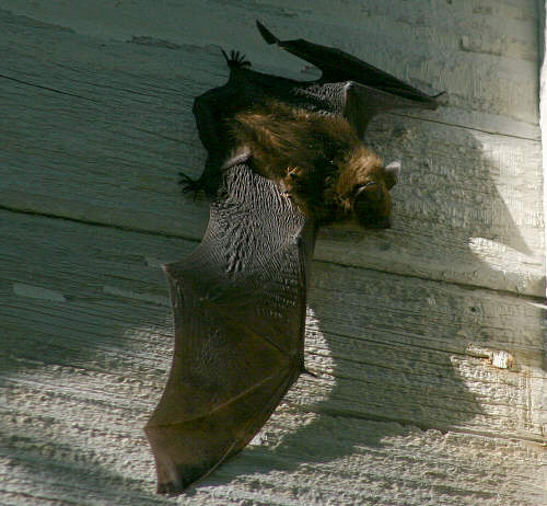 bat  on barn wall