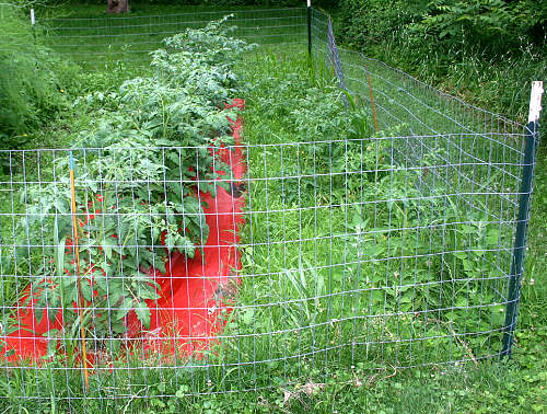 Photo of Mairilyn's monster tomatoes in the mulch next to the runty neighbors in the weeds.