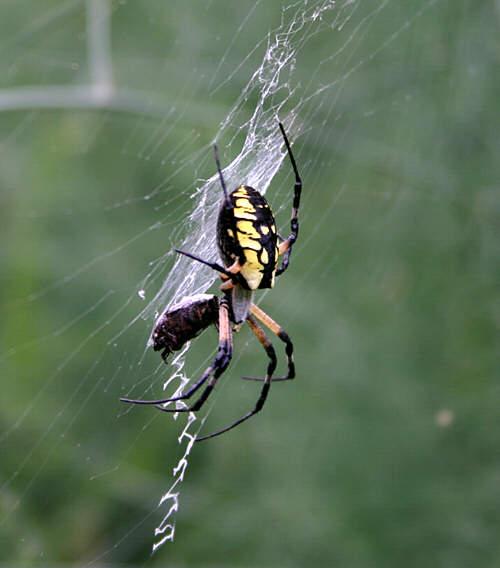 Argiope Garden Spider